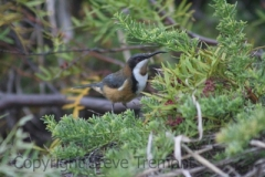 Eastern-Spinebill-250-Pine-Forest-Road-Armidale-NSW-13-9-2013-SMT