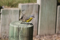 Eastern-Yellow-Robin-Big-Hill-Point-NSW-12-7-2014-SMT