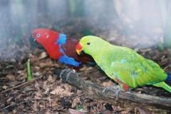Eclectus-Parrot-Taronga-Zoo-NSW-17-4-2007-SMT