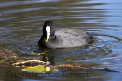 Eurasian-Coot-Commonwealth-Park-ACT-7-7-2009-SMT-3