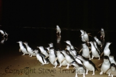 Fairy-Penguins-Lion-Island-NSW-24-10-1981-SMT