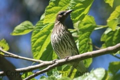 Figbird-female-Tamborine-Mountain-QLD-30-09-2014-SMT-2