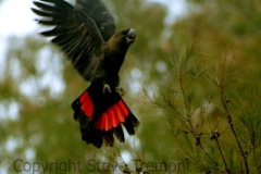 Glossy-Black-Cockatoo-Mann-River-31-July-2004-SMT-1