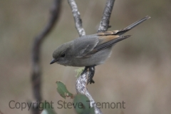 Golden-Whistler-juvenile-250-Pine-Forest-Road-Armidale-NSW-10-7-2013-SMT-1