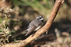 Grey-Fantail-Stuarts-Point-NSW-10-7-2014-SMT-3