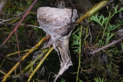 Grey-Fantail-nest-250-Pine-Forest-Road-Armidale-NSW-14-4-2009-SMT