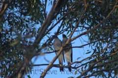 Ground-Cuckoo-shrike-250-Pine-Forest-Road-Armidale-NSW-3-8-2013-SMT