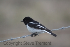 Hooded-Robin-Armidale-Pine-Forest-NSW-31-8-2013-SMT-1