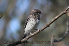 Hooded-Robin-fledgling-Armidale-Pine-Forest-NSW-31-10-2013-SMT-2