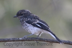 Hooded-Robin-fledgling-Armidale-Pine-Forest-NSW-31-10-2013-SMT-3