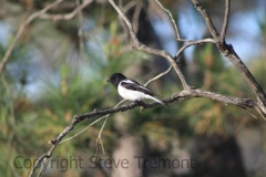 Hooded-Robin-male-Armidale-Pine-Forest-NSW-5-10-2013-SMT-1