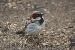 House-Sparrow-The-Twelve-Apostles-VIC-8-1-2015-SMT-01