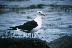 Kelp-Gull-Eaglehawk-Neck-TAS-22-2-2007-SMT-2