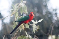 King-Parrot-Mount-Tamborine-QLD-30-9-2013-SMT-1