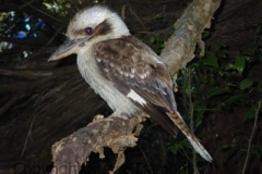 Laughing-Kookaburra-Arakoon-NSW-23-11-2008-SMT-2