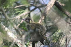 Lewins-Honeyeater-Tuross-Head-NSW-3-1-2015-SMT