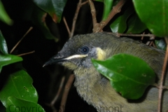 Lewins-Honeyeater-Woodhill-via-Berry-NSW-18-4-2009-SMT
