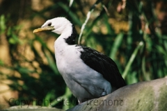 Little-Pied-Cormorant-Taronga-Zoo-NSW-17-4-2007-SMT-1