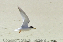 Little-Tern-Station-Ck-NSW-SMT-1