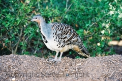 Malleefowl-Western-Plains-Zoo-19-4-2005-SMT-1