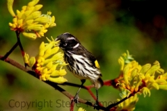 New-Holland-Honeyeater-Botanic-Gardens-ACT-29-12-2001-SMT