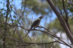 Olive-backed-Oriole-250-Pine-Forest-Road-Armidale-NSW-30-11-2013-SMT-1