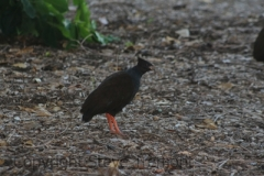 Orange-footed-Scrubfowl-Darwin-NT-12-4-2016-SMT-2