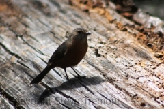 Origma-or-Rockwarbler-Grand-Canyon-Blackheath-NSW-24-9-2014-SMT