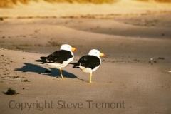 Pacific-Gull-Coles-Bay-TAS-24-2-2007-SMT