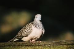 Peaceful-Dove-Taronga-Zoo-NSW-17-4-2007-SMT-1