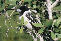 Pied-Butcherbird-Lake-Arragan-via-Brooms-Head-NSW-6-7-2007-SMT-2