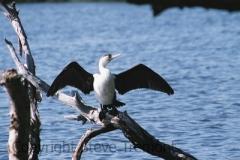 Pied-Cormorant-1-Lake-Arragan-via-Brooms-Head-NSW-5-7-2007-SMT-2