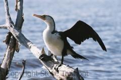 Pied-Cormorant-1-Lake-Arragan-via-Brooms-Head-NSW-5-7-2007-SMT-6