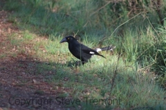 Pied-Currawong-Armidale-Pine-Forest-NSW-21-10-2013-SMT-4