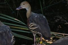Plumed-Whistling-Duck-Taronga-Zoo-NSW-17-4-2007-SMT-1
