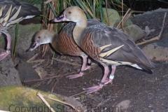 Plumed-Whistling-Duck-Taronga-Zoo-NSW-17-4-2007-SMT-2