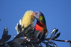 Rainbow-Lorikeet-Stuarts-Point-NSW-11-7-2014-SMT-2