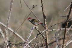 Red-browed-Finch-Armidale-Pine-Forest-NSW-31-10-2013-SMT-7