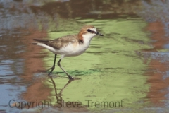 Red-capped-Plover-Rosslyn-Bay-QLD-22-4-2016-SMT-4