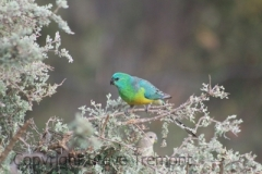 Red-rumped-Parrot-250-Pine-Forest-Road-Armidale-NSW-30-11-2017-SMT-3