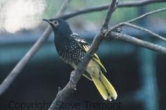 Regent-Honeyeater-Taronga-Zoo-NSW-17-4-2007-SMT-1
