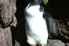 Rockhopper-Penguin-Greenly-Island-SA-12-1-1984-SMT