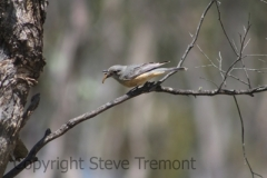 Rufous-Whistler-250-Pine-Forest-Road-Armidale-NSW-30-11-2013-SMT-8