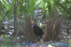 Satin-Bowerbird-Mount-Tamborine-QLD-1-10-2013-SMT-6