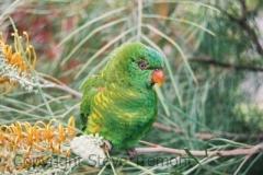 Scaly-breasted-Lorikeet-Valla-Beach-NSW-10-11-2007-SMT-10