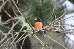Scarlet-Robin-male-Armidale-Pine-Forest-NSW-28-2-2013-SMT-5