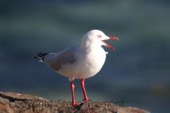 Silver-Gull-Scotts-Head-NSW-9-7-2014-SMT-1