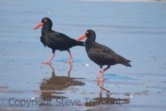 Sooty-Oystercatcher-Rosslyn-Bay-QLD-22-4-2016-SMT-5