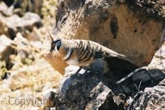 Spinifex-Pigeon-Diamantina-NP-Oct.-2003-SMT