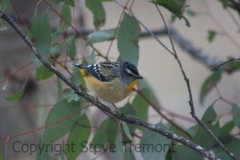 Spotted-Pardalote-250-Pine-Forest-Road-Armidale-NSW-10-7-2013-SMT-2